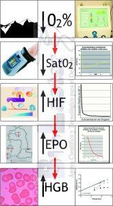 Evolución Secuencial de adaptaciones que relacionan Hipoxia y Formación de Hemoglobina: Hipoxia, Saturación de O2, Factor Inducible por la Hipoxia, EPO, Hemoglobina. (C) Biolaster. Imagen para el Blog dedicado a la hipoxia