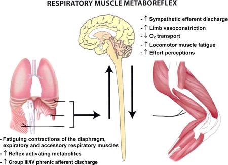 Fatiga muscular respiratoria inducida por el ejercicio f�sico: implicaciones para el rendimiento