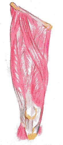 rodilla articulacion musculo cuadriceps