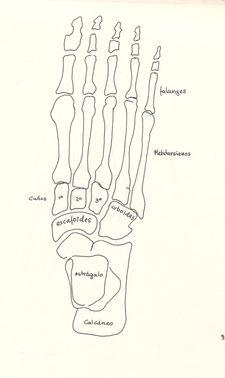 Anatomía Del Tobillo Biolaster